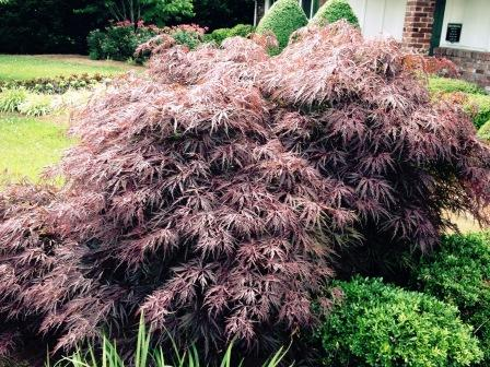 Planting Japanese Maple Trees